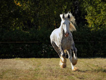 Dapple grey drum horse stallion runs gallop on meadow Stock Image