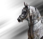 Dapple-grey horse (arabian). Portrait of the arabian stallion Royalty Free Stock Photography
