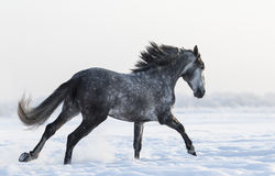 Dapple-grey horse galloping on field at winter time Royalty Free Stock Image