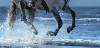 Dapple-grey horse run gallop on water. Legs of horse close up. Royalty Free Stock Image