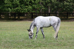 Dapple-grey Horse with Shaded Eyes on a Meadow, Czech Republic, Europe Royalty Free Stock Images