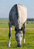 Dapple-grey mare. Dapple-grey horse pastures in field Royalty Free Stock Image