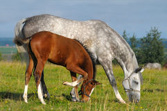 Dapple-grey mare and bay foal. In field Stock Photos