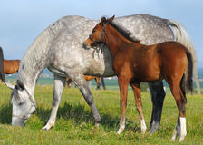 Dapple-grey mare and bay foal. In field Stock Images