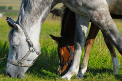Dapple-grey mare and bay foal. In field Royalty Free Stock Photography