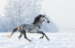 Dapple-grey stallion gallop across snowy field Stock Images