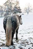 dapple hästen Royaltyfria Foton