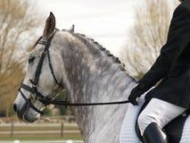 Dapple il cavallo di Dressage Fotografie Stock