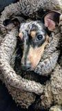 Dapple o cachorrinho do bassê envolvido em uma cobertura Fotos de Stock Royalty Free