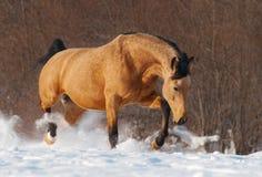 Dapple o mustang da castanha que trota através do prado nevado do inverno fotografia de stock