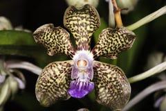 Dapple orquídeas fotografia de stock
