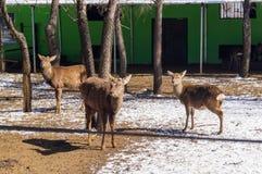 Dappled олени в зоопарке Стоковые Изображения