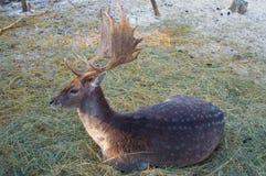 dappled олени стоковая фотография rf