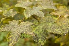 Dappled autumn leaves Stock Photos