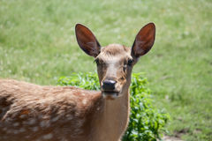 Dappled deer. Pricket in a open-air cage in a zoo Stock Image