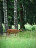 Dappled deer Stock Images