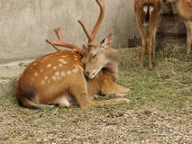 Dappled deer. Spotted deer lying on the grass Stock Photography