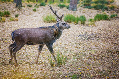 Dappled deer royalty free stock photography