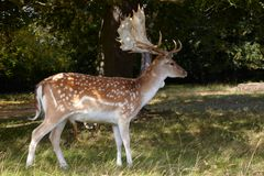Dappled deer with great horning Stock Image
