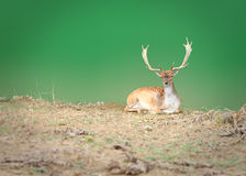 Dappled deer Royalty Free Stock Photo