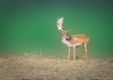 Dappled deer. On a green background Royalty Free Stock Images
