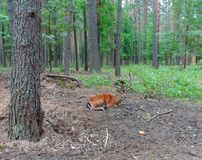 Dappled deer. Male sika deer resting in the shadow of the forest Stock Images