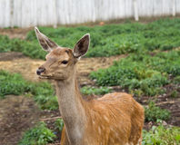 Dappled deer pricket. In a open-air cage in a zoo Royalty Free Stock Photos