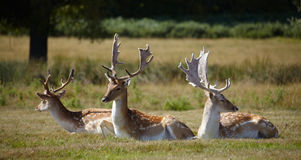 Dappled deers relaxing on a sun Royalty Free Stock Images