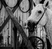 DAPPLED GRAY HORSE IN BLACK AND WHITE Stock Images