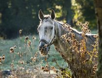 Dappled Gray Horse in Morning Light. A dappled gray horse raked by morning sunlight next to a fence and Thistle in the Hudson Valley of New York stock images