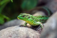 A dappled green lizard on the rocks.  Royalty Free Stock Photos