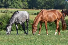 Dappled grey and chestnut horses. Czech republic,Bunov,dappled grey and chestnut horse Stock Photo