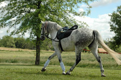 Dappled Grey Horse. Dappled grey warmblood horse warming up for dressage event royalty free stock photography
