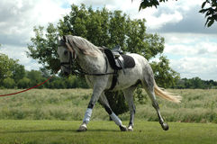 Dappled Grey Horse. Dappled grey warmblood horse warming up for dressage event royalty free stock photo