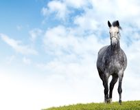 Dappled-grey horse. Dappled-grey mare is grazed in a floor royalty free stock image