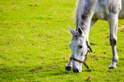 Dappled grey horse in a halter Royalty Free Stock Images