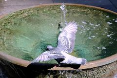 Wild Pigeon Drinking From Public Fountain, Sydney, Australia. A dappled grey wild pigeon settling and drinking from a small bronze cauldron public fountain in Royalty Free Stock Images