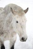 Dappled horse. Close-up dappled white horse portrait royalty free stock photos
