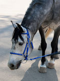 Dappled horse in blue bridle bending head. To the scratch asphalt Stock Images