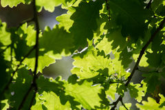 Dappled light through oak leaves Stock Photos