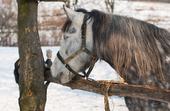 Dappled mare at open stall at winter season Royalty Free Stock Images