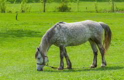 Dappled mare on a spring pasture Royalty Free Stock Image