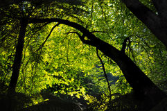 Dappled morning light shines though an elm tree Stock Photos