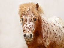 Dappled Pony funny portrait Royalty Free Stock Images