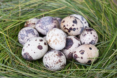 Dappled quail eggs in a grass nest. Dappled quail eggs in  green-yellow grass nest Royalty Free Stock Photography