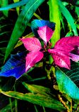 Dappled shiny leaves . Dappled shiny pink blue green leaves royalty free stock photos