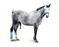 Dappled stallion. On a white background stock photos