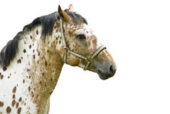 Dappled stallion Royalty Free Stock Photo