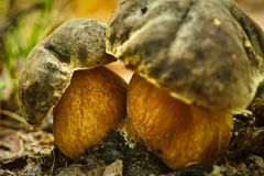 Dar cep in the forest. Dark cep Boletus aereus mushrooms on forest floor Royalty Free Stock Photos