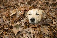 Darby dans les feuilles photo libre de droits